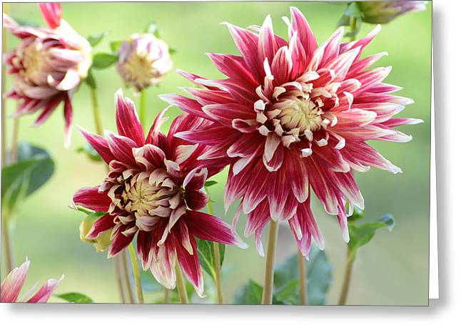 Dinner-plate Dahlia Greeting Cards - Dahlia Delight Greeting Card by Lynn Bauer