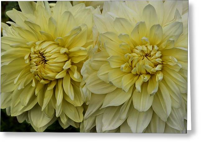 Dinner-plate Dahlia Greeting Cards - Dahlia Duet Greeting Card by Patricia Strand