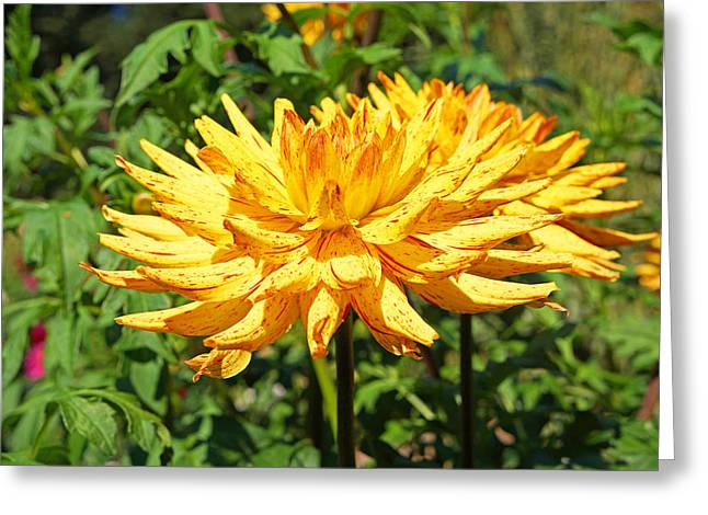 Dahlia Flower Floral Art Prints Greeting Card by Baslee Troutman Art Prints Gifts