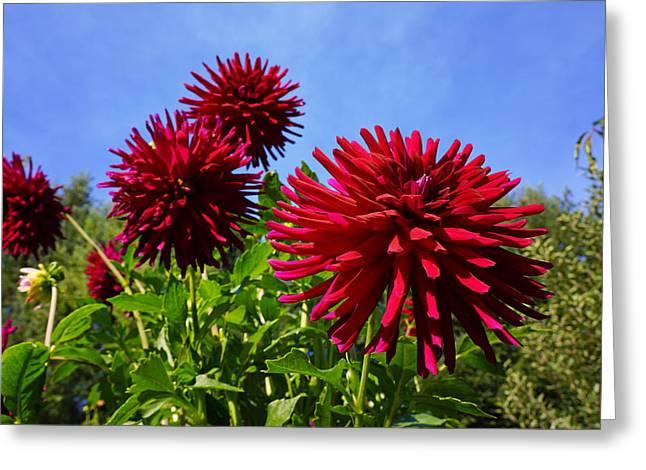 Dahlia Flower Garden Art Prints Photography Greeting Card by Baslee Troutman Fine Art Photography