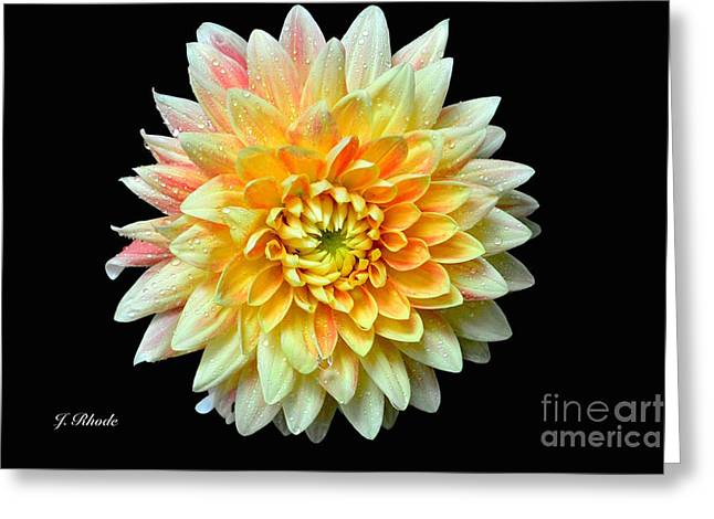 Flower Still Life Prints Greeting Cards - Dahlia in Yellow Greeting Card by Jeannie Rhode Photography