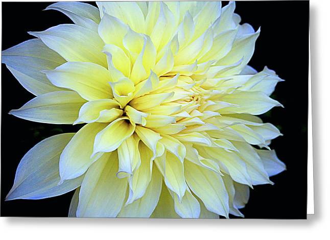 Dahlia Kelvin Floodlight Greeting Card by Julie Palencia