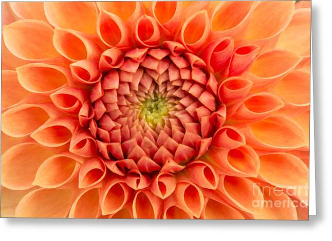 Asteraceae Greeting Cards - Dahlia Oakwood Naranga Greeting Card by Tim Gainey