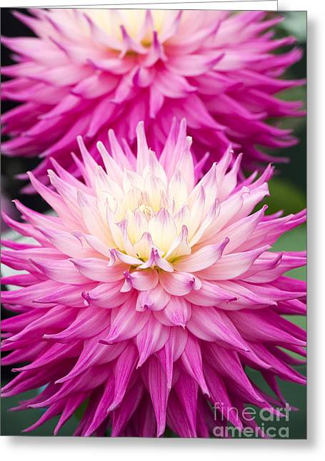 Dahlia Pink Jupiter  Greeting Card by Tim Gainey