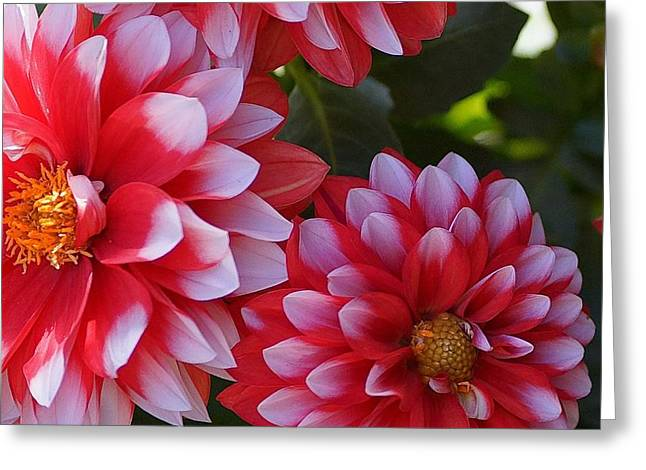 Dahlia Trio Greeting Card by Tracey Vivar