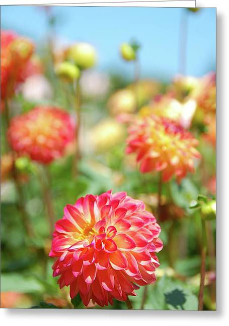 Flower Blossom Greeting Cards - Dahlias Greeting Card by Marcus L Wise