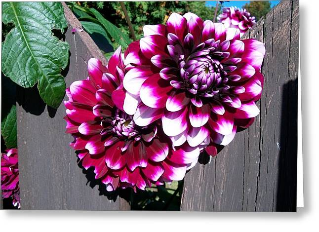 Shower Head Greeting Cards - Dahlias through the  Fence  Greeting Card by Sharon Duguay