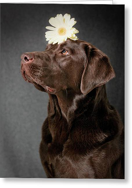 Chocolate Lab Greeting Cards - Dainty Greeting Card by Patrick English