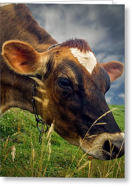 Cute Animal Portraits Greeting Cards - Dairy Cow Eating Grass Greeting Card by Bob Orsillo