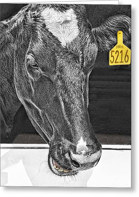 Dairy Cow Number 5216 Greeting Card by Mitch Spence