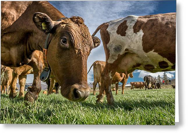 Collar Greeting Cards - Dairy Cows With Electronic Collars Greeting Card by Panoramic Images