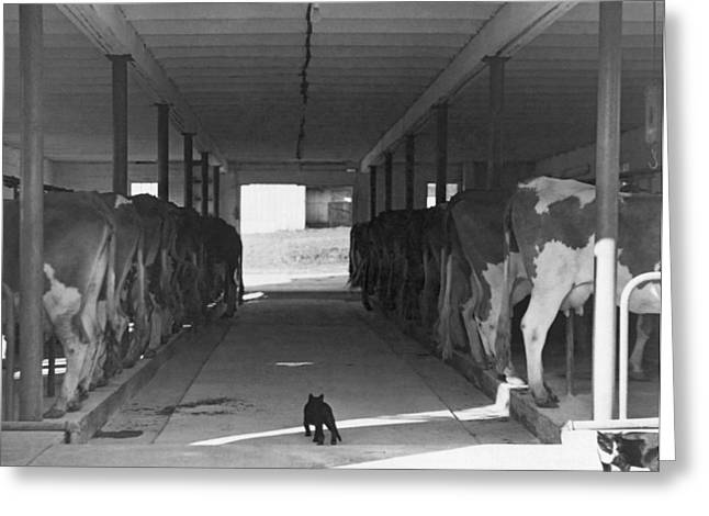Cowshed Greeting Cards - Dairy Farming Barn Scene Greeting Card by Underwood Archives