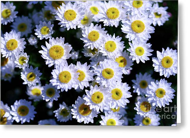 Lots Of Daisies Greeting Cards - Daisies are like sunshine to the ground. Greeting Card by Fir Mamat