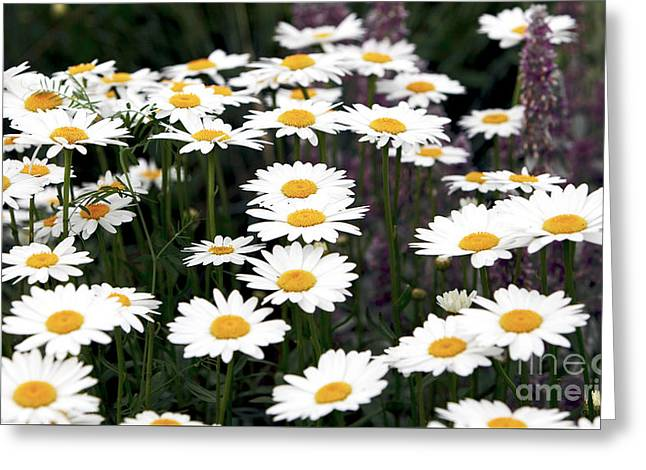 Old Montreal Greeting Cards - Daisies Greeting Card by John Rizzuto