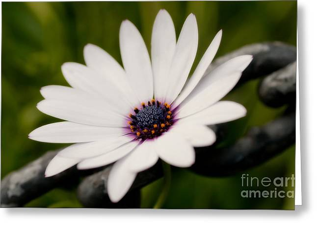 Van Dusen Botanical Garden Greeting Cards - Daisy Chain Greeting Card by Venetta Archer