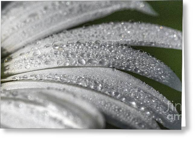 Environemtn Greeting Cards - Daisy  dewdrops Greeting Card by Darleen Stry