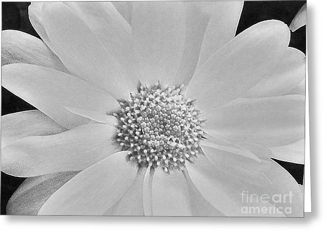 Black Top Greeting Cards - Daisy Doo Greeting Card by Marsha Heiken