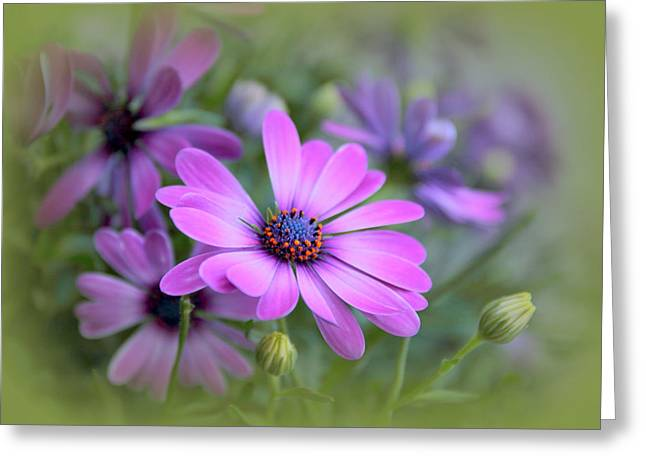 Daisy Bud Greeting Cards - Daisy Dream Greeting Card by Jessica Jenney
