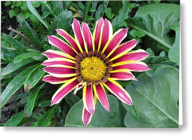 Greeting Cards - Daisy Family. Greeting Card by Joyce Woodhouse