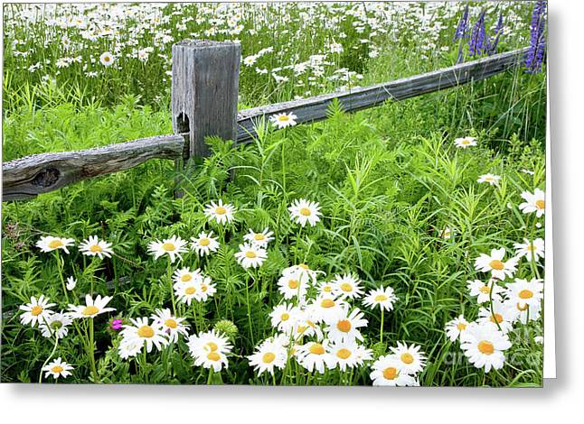Maine Meadow Greeting Cards - Daisy Fence Greeting Card by Susan Cole Kelly