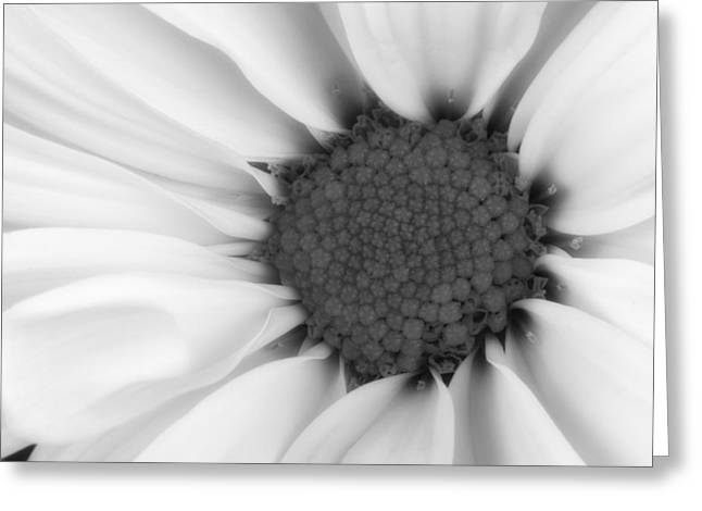 Close Up Floral Photographs Greeting Cards - Daisy Flower Macro Greeting Card by Tom Mc Nemar