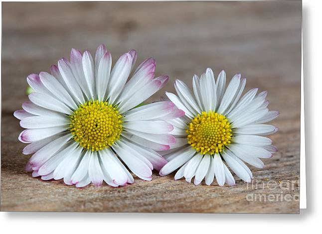 Cracked Greeting Cards - Daisy Flowers Greeting Card by Nailia Schwarz