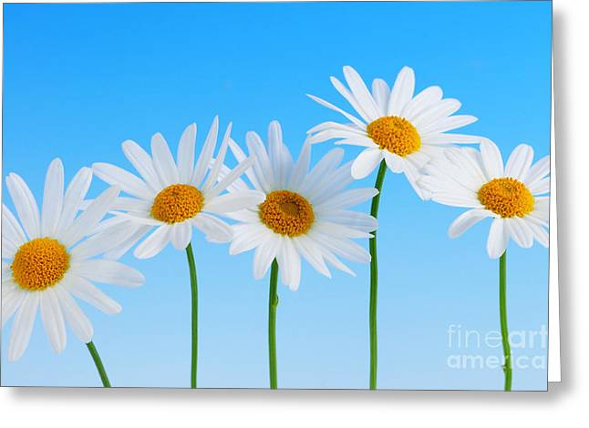 White Photographs Greeting Cards - Daisy flowers on blue background Greeting Card by Elena Elisseeva