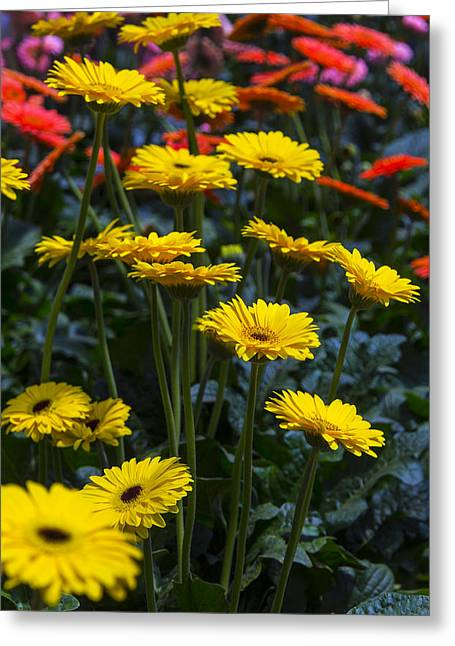 Gerbera Daisies Greeting Cards - Daisy Garden Greeting Card by Garry Gay