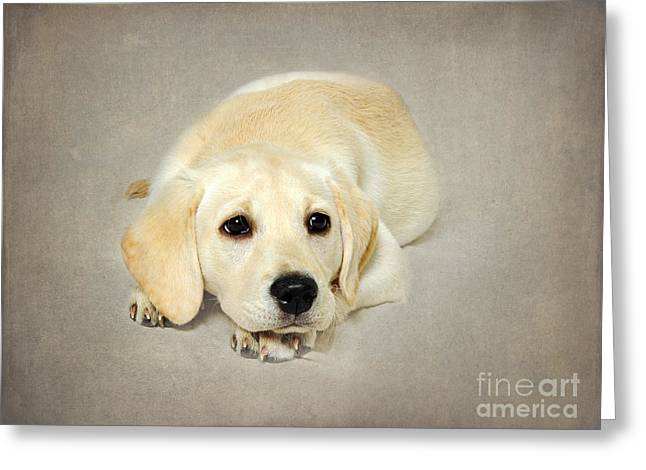 Young Labrador Retrievers Greeting Cards - Daisy Greeting Card by Jacky Parker
