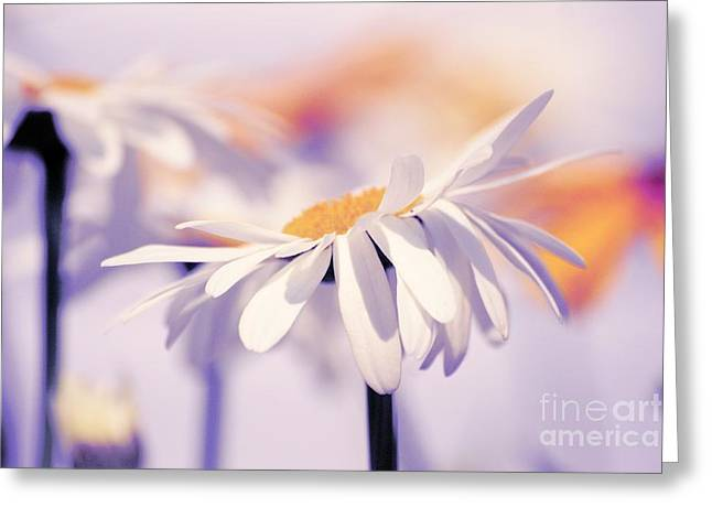 White Daisy Greeting Cards - Daisyday 11b Greeting Card by Variance Collections