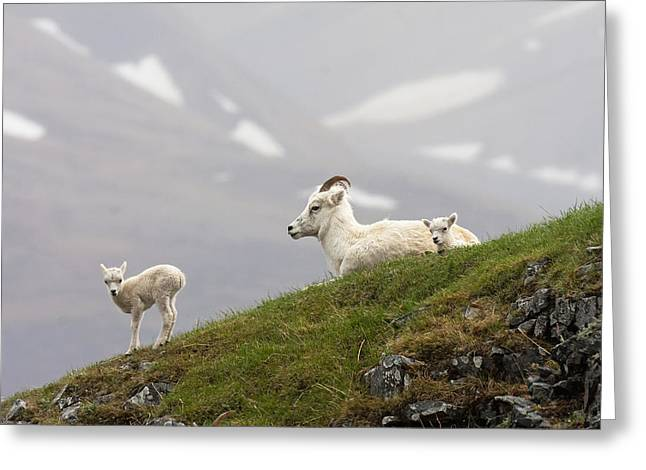 Sheep On Rocks Greeting Cards - Dall Sheep Ewe And Her Lamb  Ovis Dalli Greeting Card by Alissa Crandall