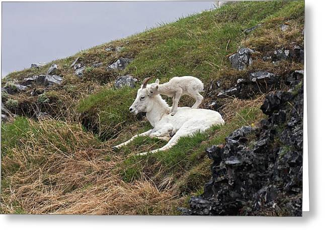 Sheep On Rocks Greeting Cards - Dall Sheep  Ovis Dalli Dalli  Lamb Greeting Card by Alissa Crandall