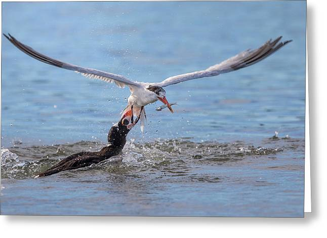 Tern Greeting Cards - Damn Popular Anchovy.. Greeting Card by Phoo Chan
