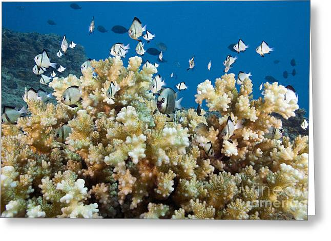 Damselfish Among Coral Greeting Card by Dave Fleetham - Printscapes