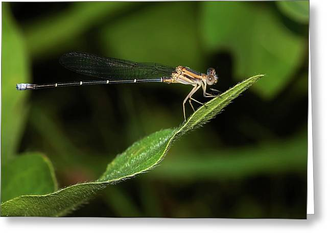 Damselfly Greeting Cards - Damselfly Greeting Card by Betty LaRue