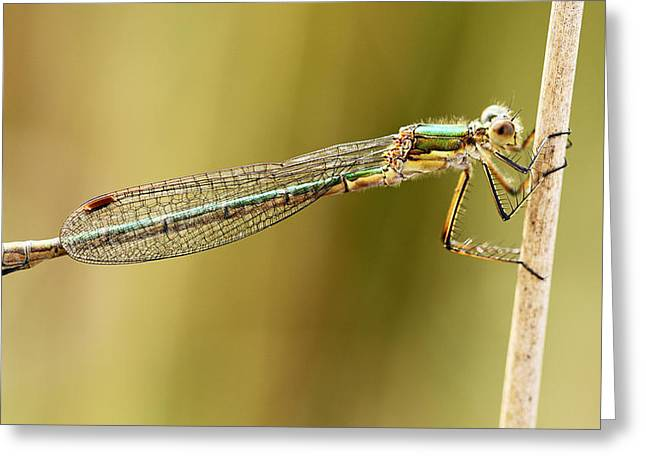 Biology Greeting Cards - Damselfly Greeting Card by Grant Glendinning