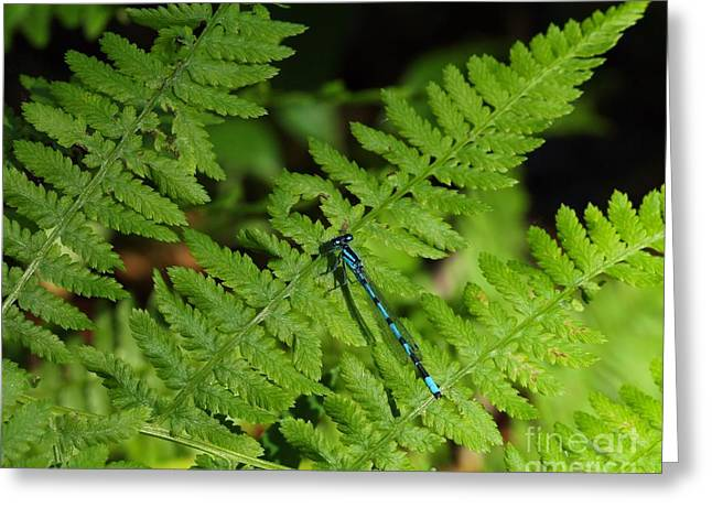 Bug Framed Prints Greeting Cards - Damselfly Greeting Card by Jimmy Ostgard