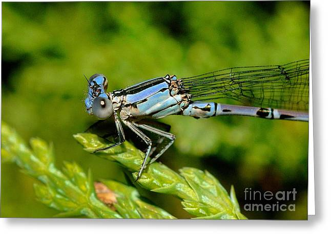 Damselfly Greeting Cards - Damselfly Greeting Card by Marc Bittan