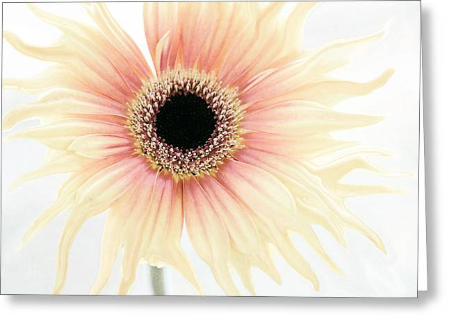 Dance Gerbera Greeting Card by SK Pfphotography