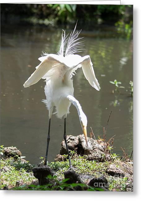 Wadingbird Greeting Cards - Dance Moves-White Heron Greeting Card by Alicia Collins
