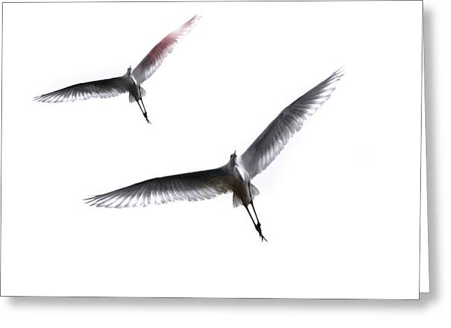 Dance Of The Egrets Greeting Card by Marion Cullen