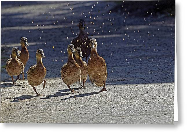 Mallard Ducklings Greeting Cards - Dancing Duckies Greeting Card by Sharon  Talson