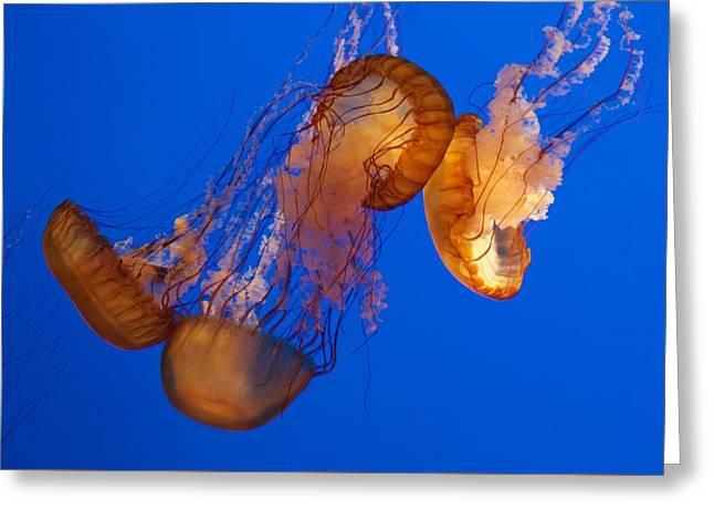 Sea Animals Greeting Cards - Dancing Sea Nettles Greeting Card by Venetia Featherstone-Witty