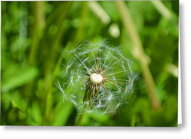 Indiana Flowers Greeting Cards - Dandelion 2015 Four Greeting Card by Tina M Wenger