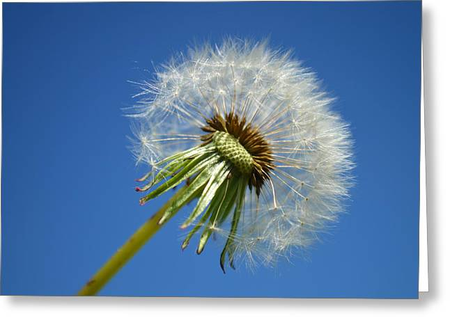 Indiana Flowers Greeting Cards - Dandelion 2015 One Greeting Card by Tina M Wenger