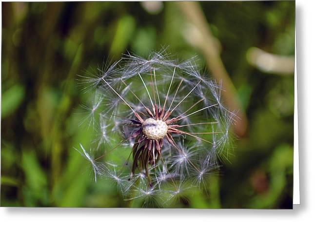 Indiana Flowers Greeting Cards - Dandelion 2015 Three Greeting Card by Tina M Wenger