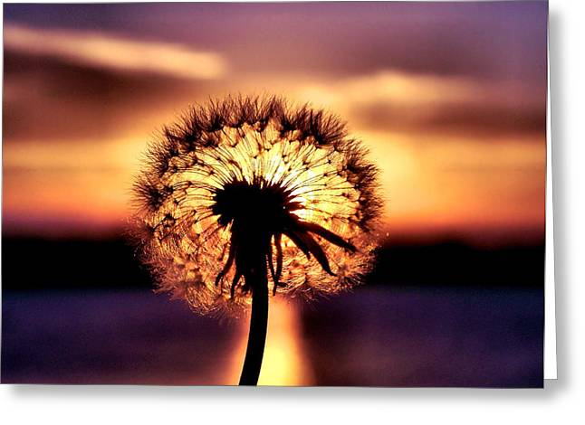 Colorful Dandelions Greeting Cards - Dandelion at Sundown Greeting Card by Karen M Scovill