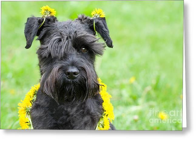 Standard Schnauzer Greeting Cards - Dandelion Dog Greeting Card by Ferenc Kosa