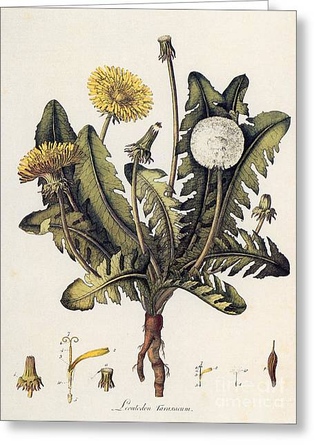 18th Century Greeting Cards - Dandelion Greeting Card by Granger