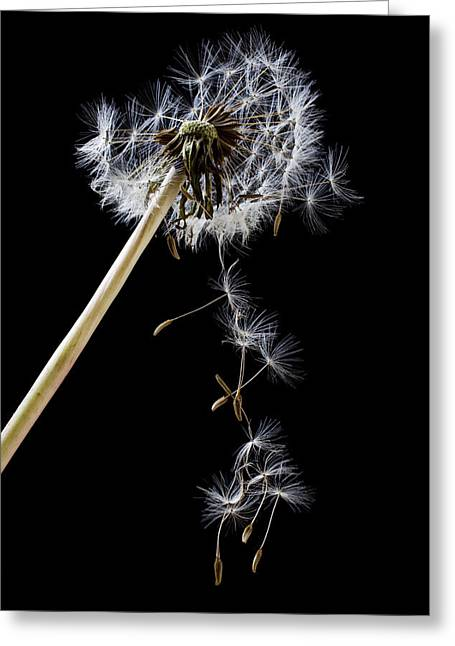 Bristles Greeting Cards - Dandelion loosing seeds Greeting Card by Garry Gay